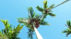 Palm Trees with Super Clear Skies - Pan Stock Footage