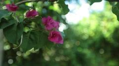 Hibiscus Flower Rack Focus 3 in the Bahamas  Stock Footage