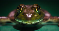 Green frog close-up, breathing, tilts head up. Stock Footage