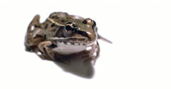 Southern leopard frog on white background. Stock Footage