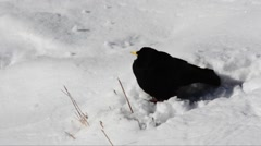 Clough on snow,  Pyrrhocorax graculus, Stock Footage