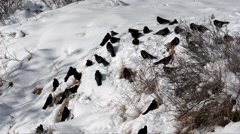 Cloughs on snow,  Pyrrhocorax graculus, Stock Footage