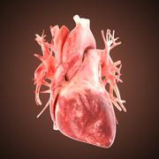 xray heart illustratio. Anatomicaly accurate - stock illustration