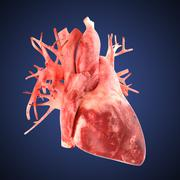 Stock Illustration of xray heart illustratio. Anatomicaly accurate