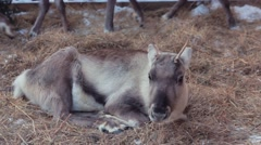 North Young Deer lying on the straw Stock Footage