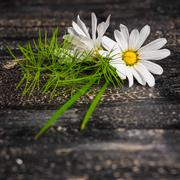 Daisies flower with grass on black cracks background, close up Stock Photos