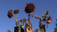Tits on helianthus plant - stock footage