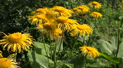 Yellow sunlit flowering yellowhead plant in the garden Stock Footage