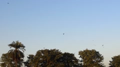 Eagles and crows leaving and flying over the trees Stock Footage