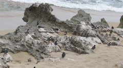 Many birds sitting at rocks near to seashore Stock Footage