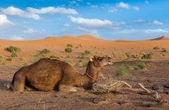 Camel on background of dunes, Sahara desert - stock photo