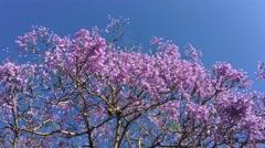 Sydney Jacaranda Purple Tree Stock Footage