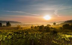 The sun rises in the vineyards and dissolves the mist. Kuvituskuvat
