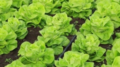 Lettuce cultivated in greenhouse Stock Footage