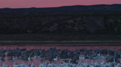 Cranes and Geese under Pink Dawn Sky in Desert Stock Footage