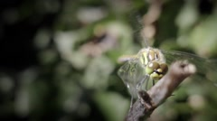 Dragonfly holding wind blowing - stock footage