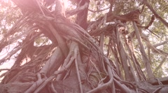 Hanging roots of a strangler fig from a bottom perspective. 4k - stock footage