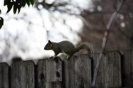 Stock Photo of Gray Squirrel On Top Of Wooden Fence