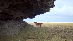 Red dog itches under a rock Stock Footage