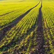 Autumn field. Winter-crop - stock photo