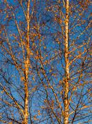 Branches of the top of a leafless tree in autumn Stock Photos