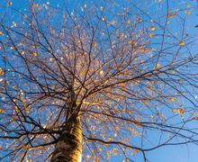 Branches of the top of a leafless tree in autumn - stock photo