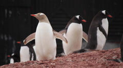 Rare Yellow Penguin with Leucism - stock footage