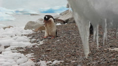 Penguins Walk Behind Icicle Curtain Stock Footage