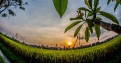 Sunset Rice Filed Timelapse 4k Stock Footage