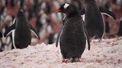 Gentoo Penguin Preening Stock Footage
