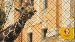 Giraffe in zoo park Stock Footage