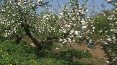 Old growth apple trees in bloom along Lingedijk dike - vehicle shot  Stock Footage