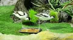 Sandpiper (Avocet; Recurvirostra avosetta) in zoo park Stock Footage