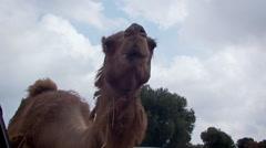 Camel dromedary Stock Footage