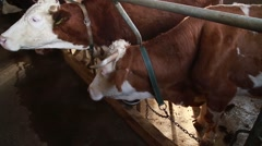 Dairy cattle tied in the stable Stock Footage