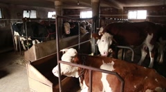 Stall with dairy cattle Stock Footage
