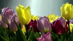 Tulips in Berlin in spring Stock Footage