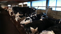 Dairy cows tied in the stable Stock Footage