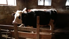 Cattle in the stable Stock Footage
