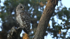 Owl on Branch Arkistovideo