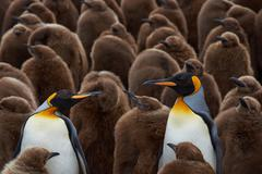 King Penguin Creche - stock photo
