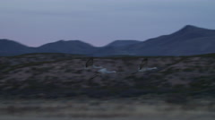 Cranes Fly Off From Marsh with Mountains in Background Stock Footage
