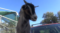 Goat Plays on a Car  Stock Footage
