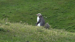 Yellowed-eye penguin, New Zealand Stock Footage