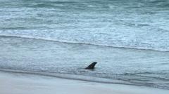 Sea lion walks into vast ocean Stock Footage
