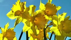 Daffodils in springtime Stock Footage