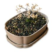 Houseplant, Dry Bonsai Tree in Flowerpot for Garden Decoration Isolated on Wh Stock Photos