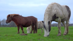 3 ponys browsing in a meadow, one comming to camera - cloudy winter, slow motion Stock Footage