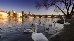 View on Charles bridge and Swans on Vltava river in Prague Stock Footage