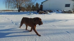 4k walking with mastiff in winter Stock Footage